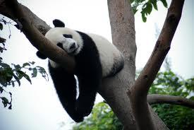 Lazy-Panda